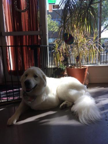 Riley (Great Pyrenees)