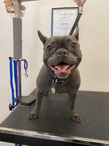 Roxy (French Bulldog)