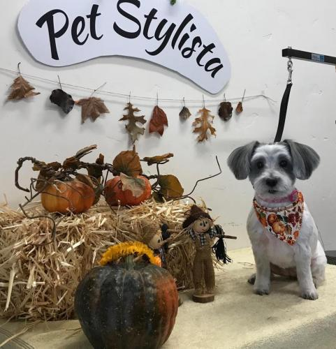 Cookie<br>(Tibetan Terrier<br>Shih Tzu Mix)