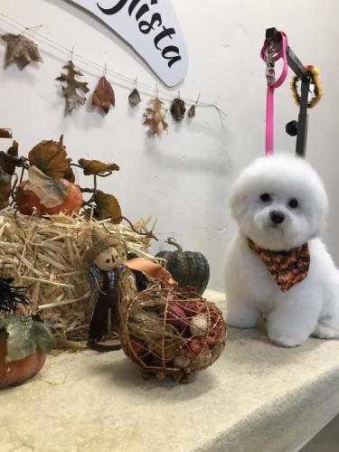 Lila Rose Bichon Puppy<br>First Cut