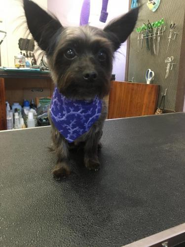 Moose (Chihuahua Yorkie)<br>After