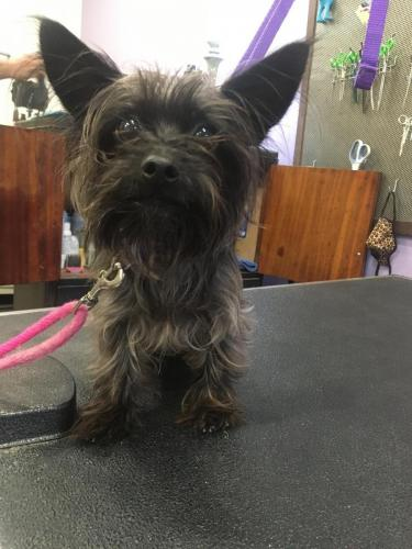 Moose (Chihuahua Yorkie)<br>Before