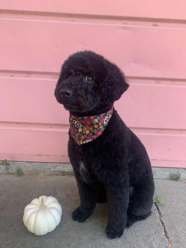 Reddington<br>(Miniature Poodle)