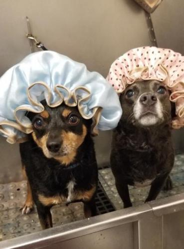 Sally and Kai Chihuahua<br>Mixes in Bath