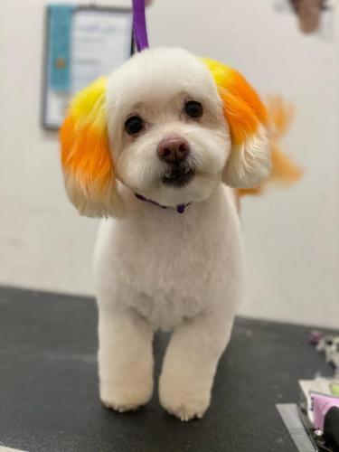 Skip (Poo Terrier)<br>Candy Corn Ears