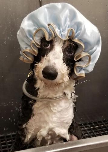 Wally<br>(Mini Bernadoodle)